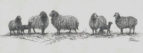 Karakul Sheep Pictures American Karakul Sheep